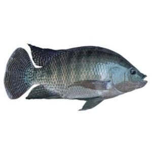 Frozen Black Tilapia fish - 800g - Dayseaday